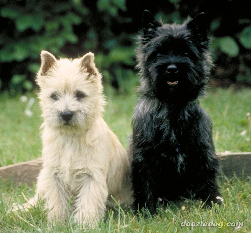 Cairn-Terrier-Puppies