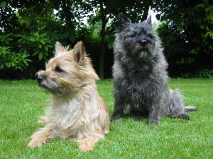 Cairn-terrier1