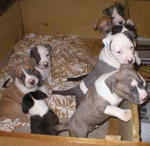 Staffordshire-terrier1