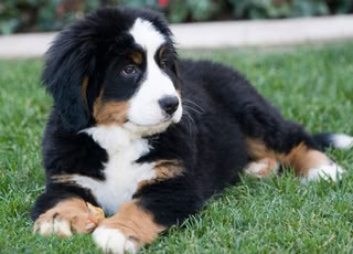 bernese-mountain-puppy
