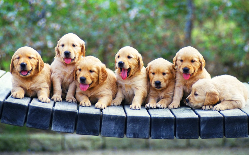 goldenretriever-babies