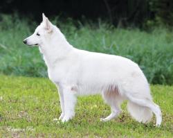 pastor branco suiço