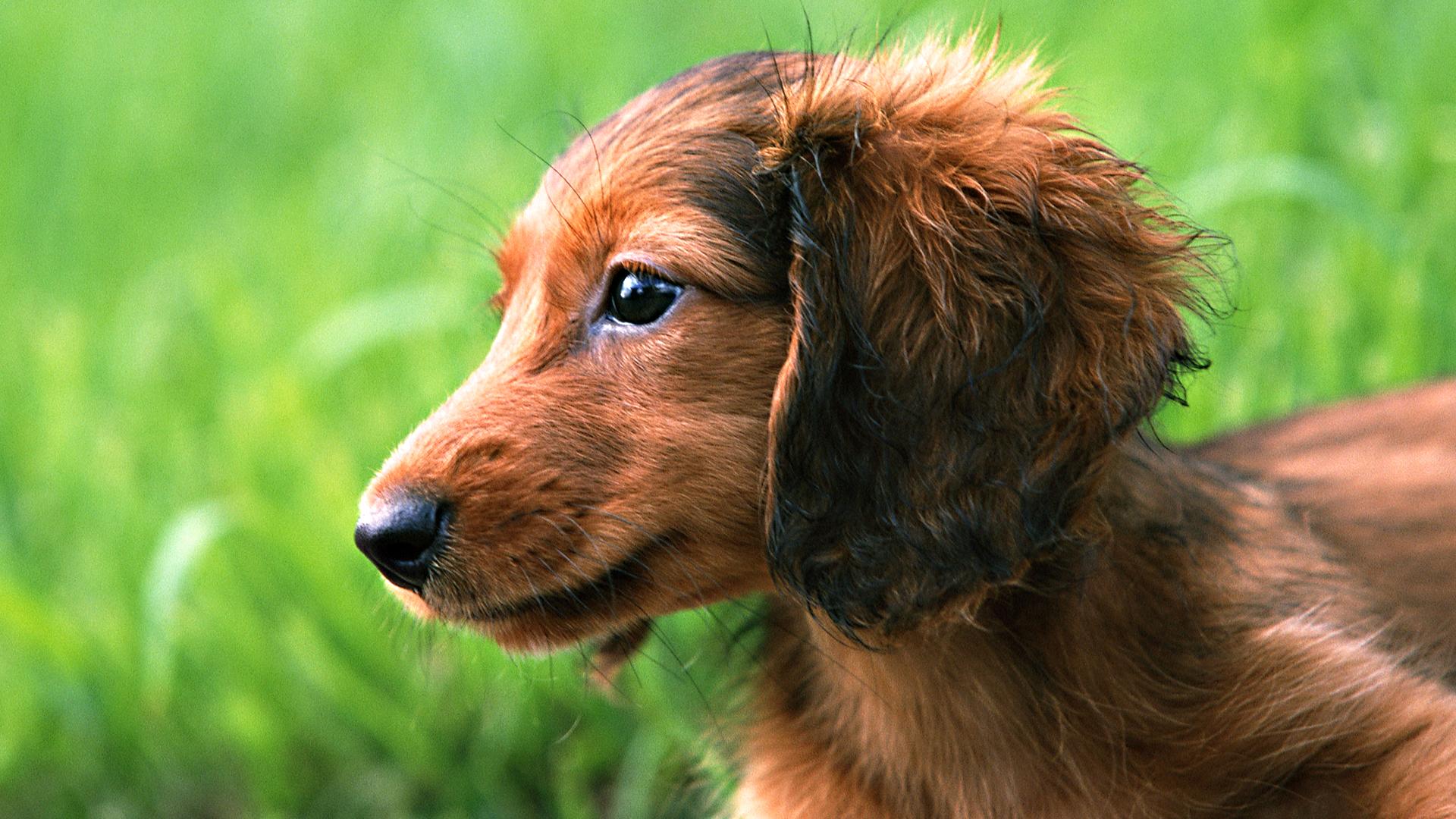 puppy_dachshund-HD