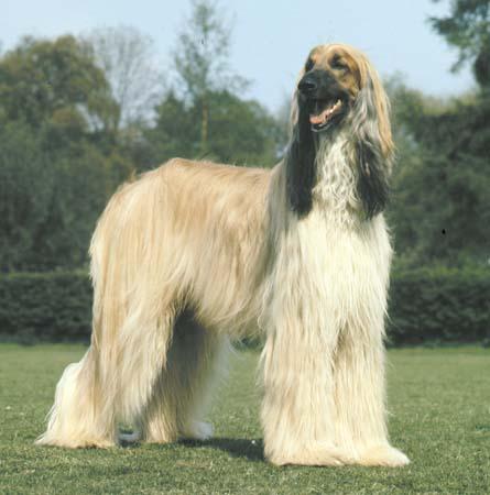 afeghan hound
