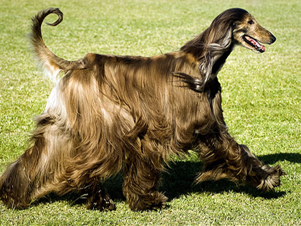 afghan-hound2