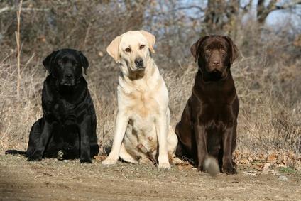 Trois couleurs Labrador