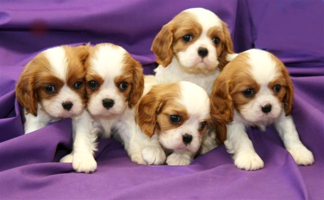 Cavalier-King-Charles-Puppies
