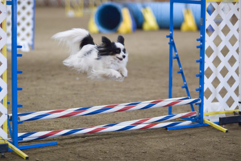 Papillon_dog_agility_jump