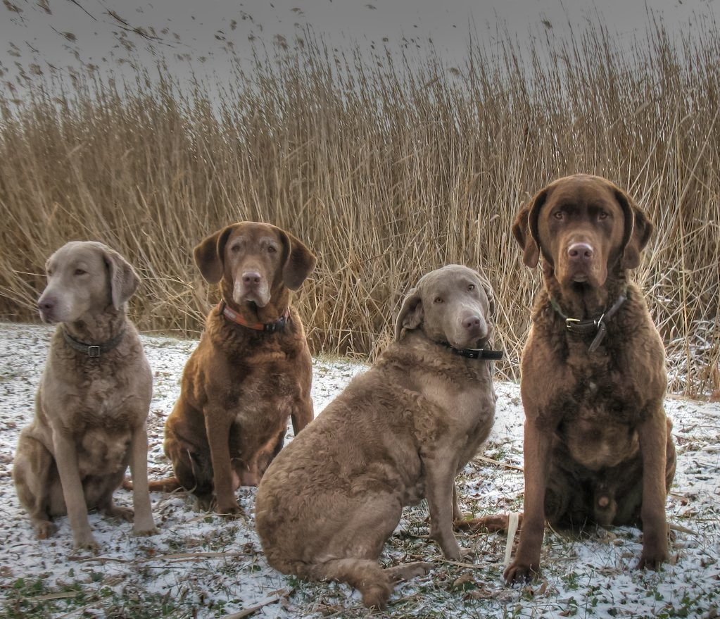 Chesapeake bay retriever3