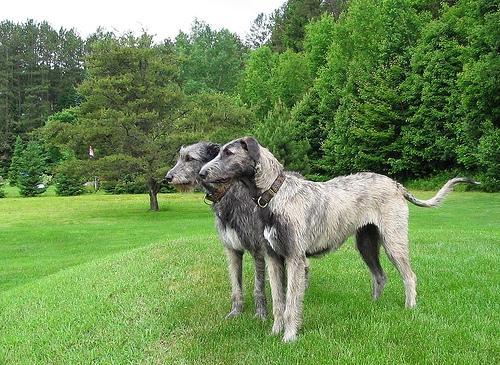 Irish Wolfhound1