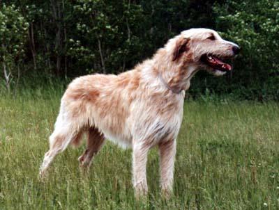 Irish Wolfhound2