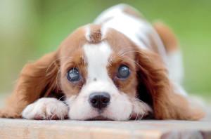 catarata-canina